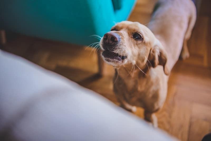 dog barking behavior