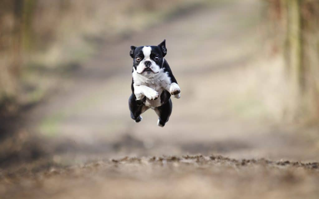 physical activity for a Boston Terrier