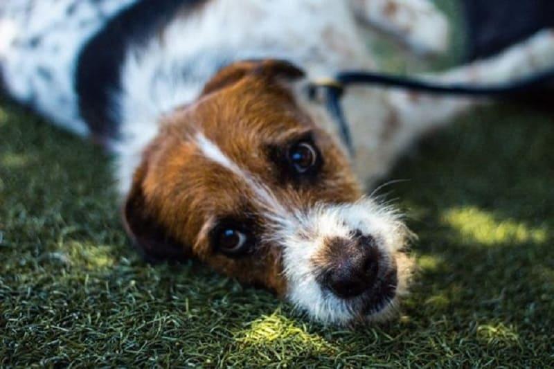 pulmonary hypertension in dogs