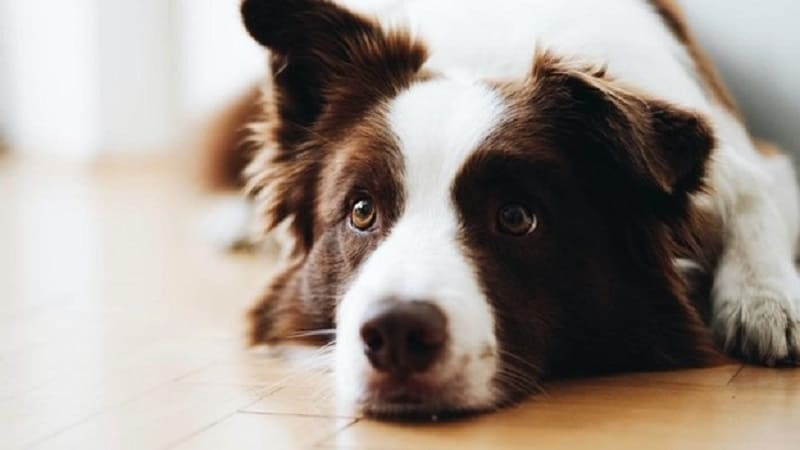 various medications used for dogs to treat pulmonary hypertension