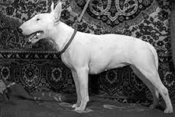 dog bull terrier