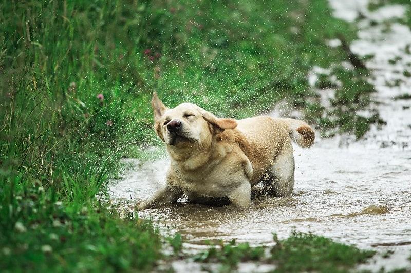 dog is shaking his body vigorously
