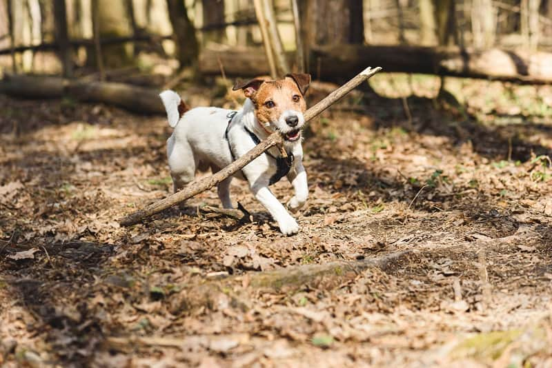 dog let loose and playing with stick