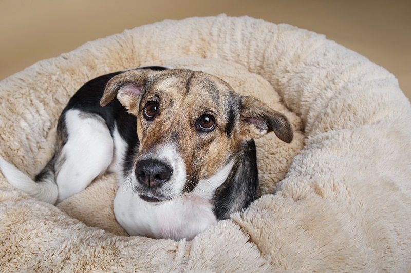 dog lying in his warm bed