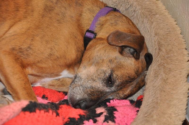 dog sleeping in his heated bed
