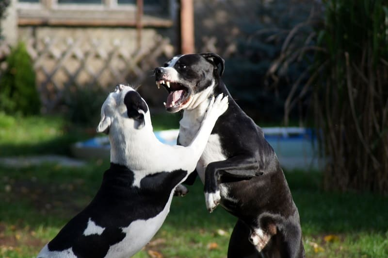 aggressive dog attacks another dog