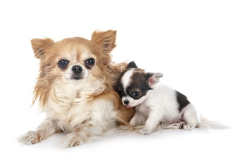 chihuahua mother and baby
