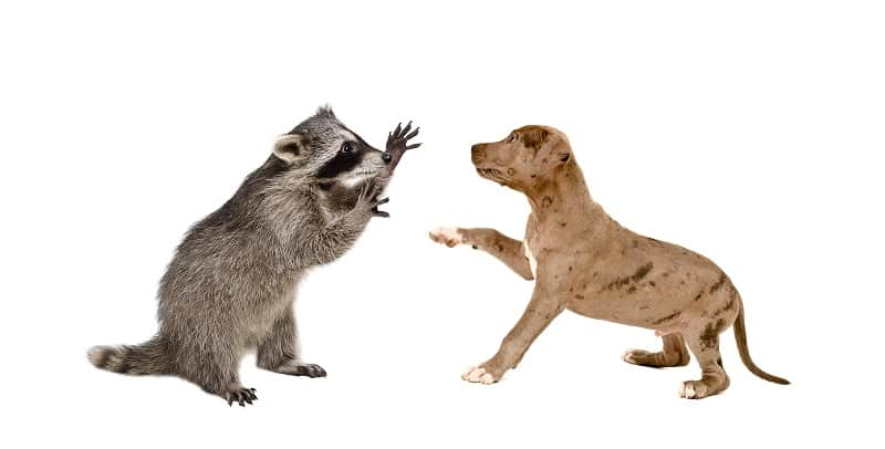 do raccoons attack dogs