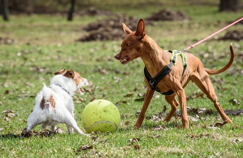 dog wants to attack another dog