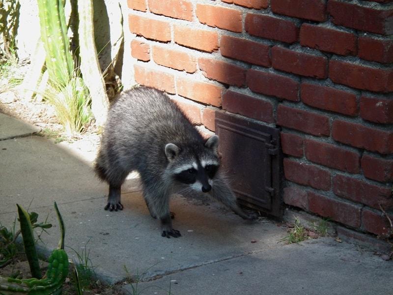 raccoon around the house