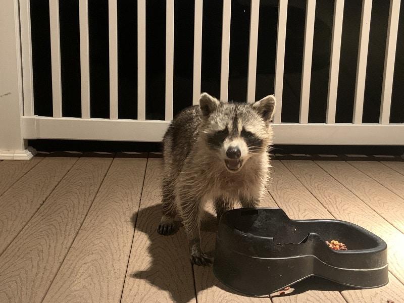 raccoon looking for food