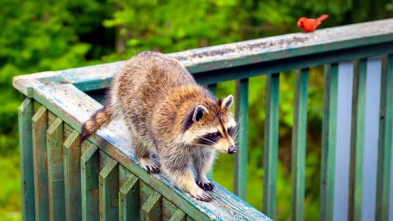 raccoon on the deck guardrail