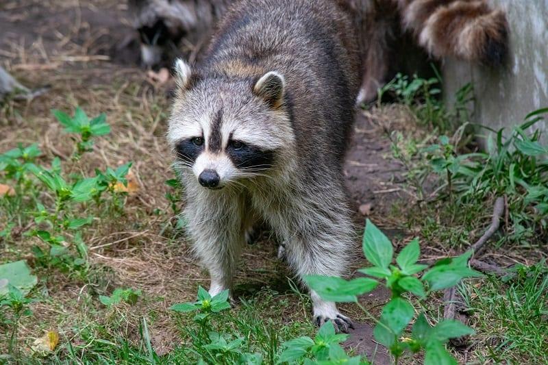 raccoon in the yard
